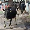 Dansende koeien naar de wei